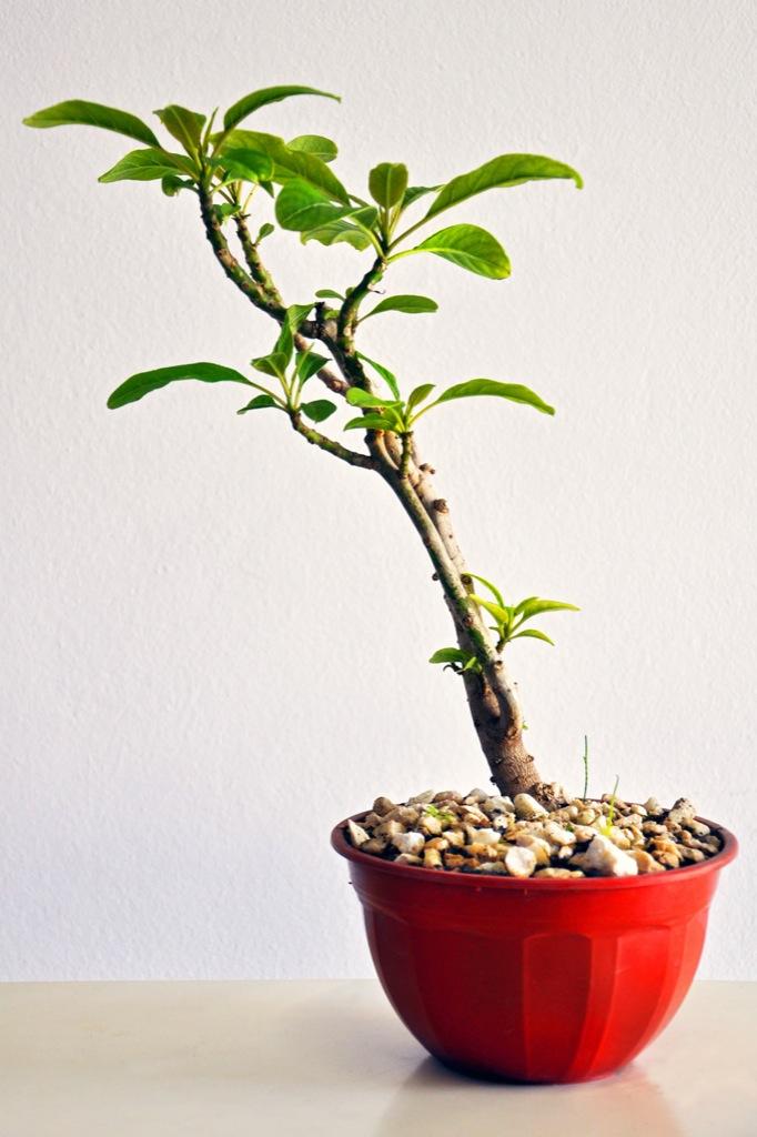 1. Bonsai 1